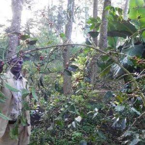 エチオピア,コーヒーの木