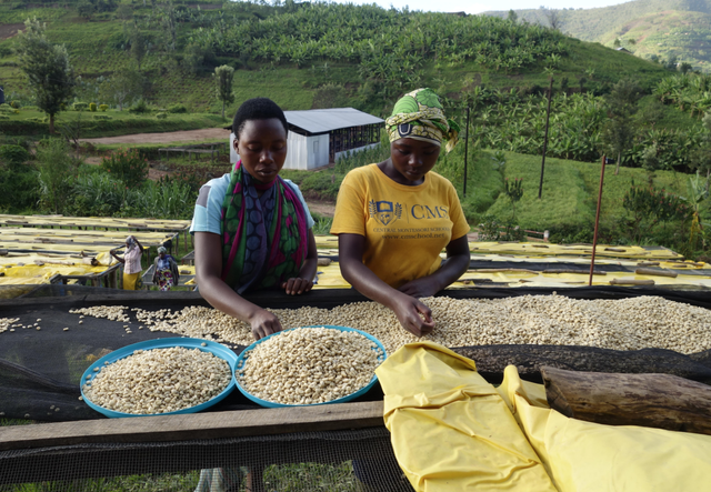 ルワンダ, コーヒー