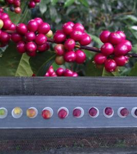 エチオピア, コーヒー