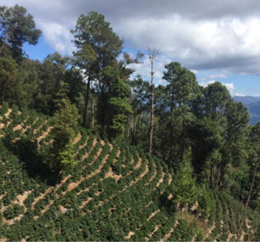グアテマラ, コーヒー