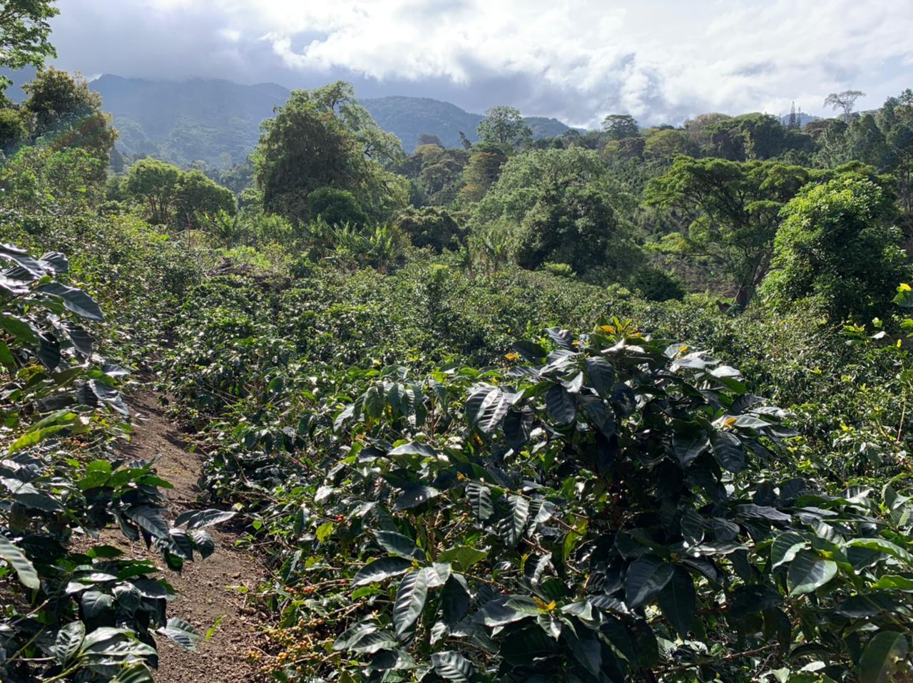 パナマ, panama, coffee,コーヒー